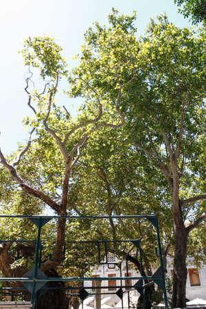 hippocrates: Plane Tree of Hippocrates in Kos island