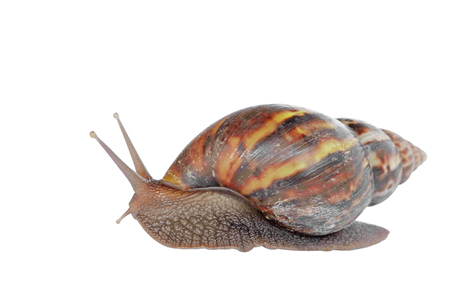 mollusca: snail isolated on white background Stock Photo