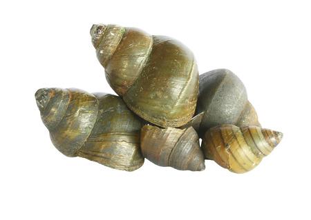 apple snail: Freshwater snail on white background