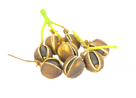 glycerin: Physic nut (Jatropha curcas L.), Euphorbiaceae