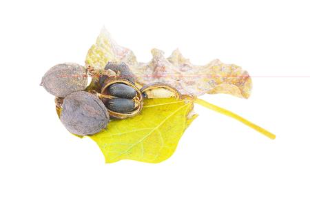 glycerin: Physic nut (Jatropha curcas L.) on white background