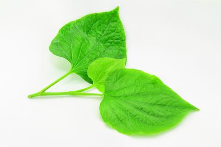 piper: Wildbetal Leafbush (Piper sarmentosum Roxb.) Herbal and medicine.