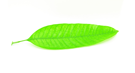 mango leaf: Mango leaf on white background Stock Photo