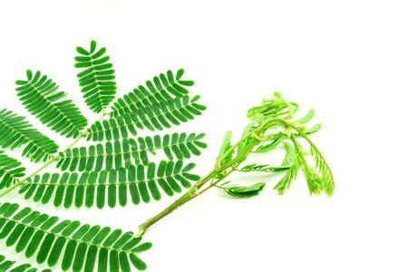 Fresh leaves Acacia concinna (Willd.) DC. on white background Фото со стока