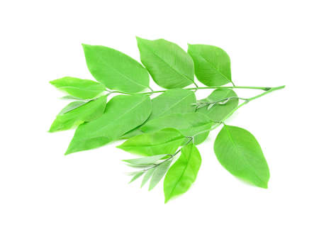 tropica: Golden shower leaves  isolated on white background Stock Photo