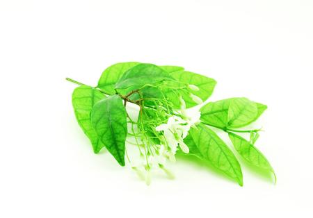 apocynaceae: Wrightia religiosa (Apocynaceae) flowers on white background