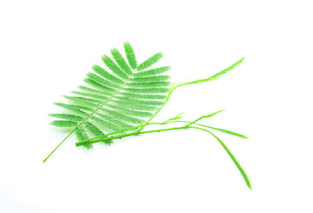 wattle: Climbing Wattle, Acacia, Cha-om on white background Stock Photo
