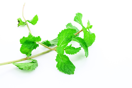 Kitchen mint or Marsh Mint isolated on white background