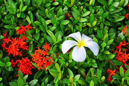 Plumeria , Frangipani flowers , Champa flower