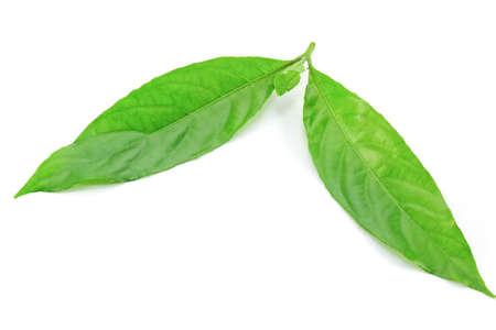 acanthaceae: Barleria Strigosa Willd leaf (Acanthaceae) on white background
