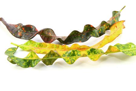 Garden Croton leaves on White Background Stock Photo
