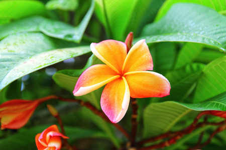 fragrant scents: Plumeria , Frangipani flowers , Champa flower