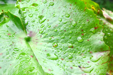 bionics: Old lotus leaves with water drops