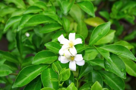 jessamine: Arancione Jessamine fiori