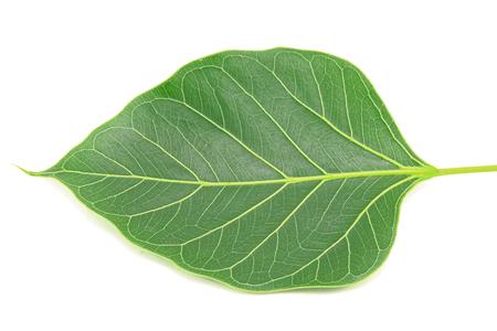 peepal: Green bodhi leaf isolated on white background