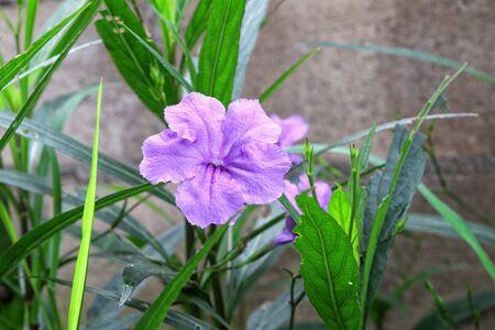 petunia wild: Purple ruellias flower in the garden Stock Photo
