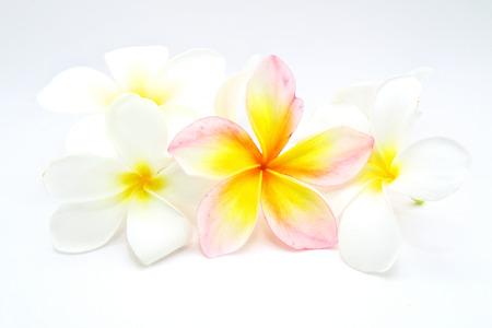 champa flower: Plumeria , Frangipani flowers , Champa flower