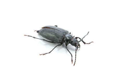pleasing: Long-horned Beetle (Dorysthenes walkeri Waterhouse) on white background
