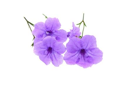 petunia wild: Purple ruellias flower isolated on white background