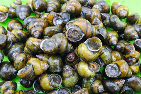 freshwater: Pile of freshwater snail Stock Photo