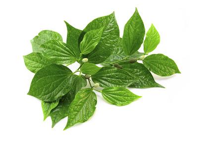 Wild betel leafbush on white background
