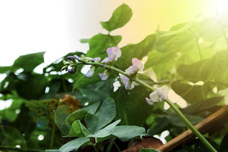 Hyacinth bean or Lablab purpureus (L.) 版權商用圖片