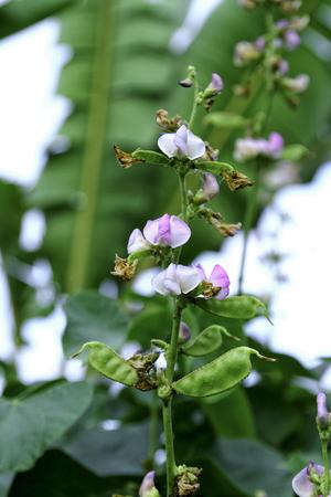 Hyacinth bean or Lablab purpureus