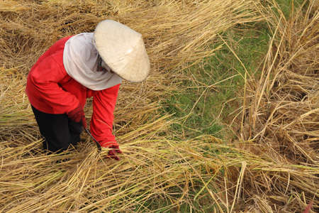 working woman cutting rice in the fields photo
