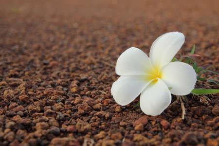 close up of Frangipani flower Stock Photo