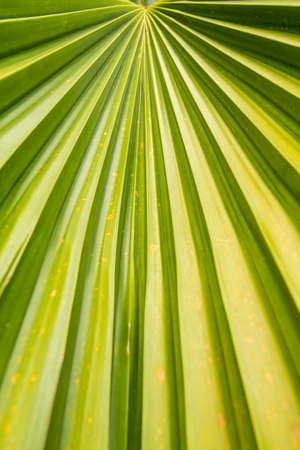 image of Green Palm leaves in nature Stock Photo - 21012066