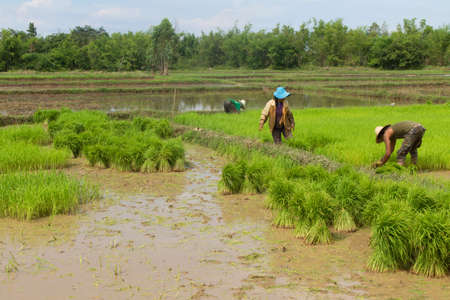 Thai farmer planting on the paddy rice farmland Editorial