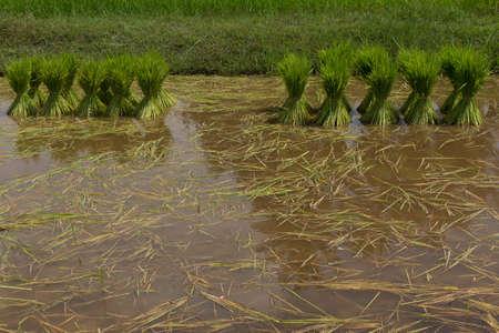 Thai farmer planting on the paddy rice farmland Stock Photo