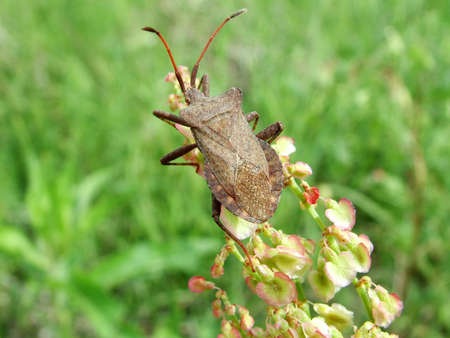squash bug: Dock bug Stock Photo
