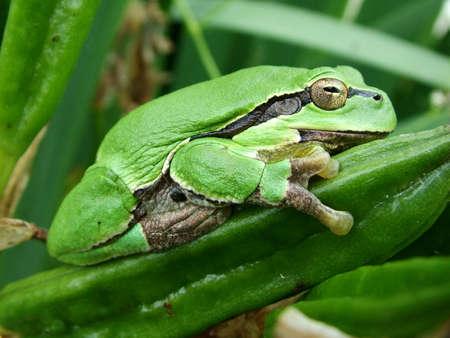 bullhead: Tree-frog relaxing Stock Photo
