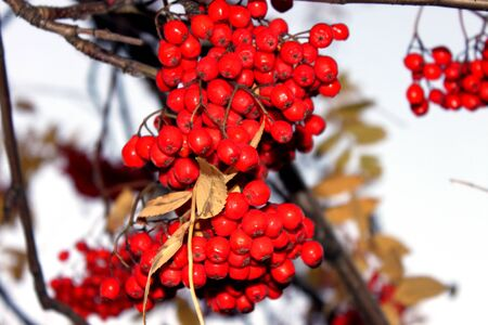 clusters of red ripe Rowan hanging on the branch of a tree