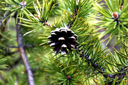 a bump on the barbed branch of pine trees in the bright sunlight