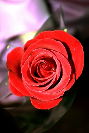 a gift from open a Bud of a red rose in a major plan