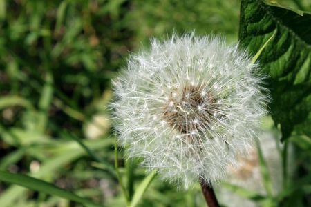 white dandelion is on the background of green grass in the Sunny summer day Stock Photo