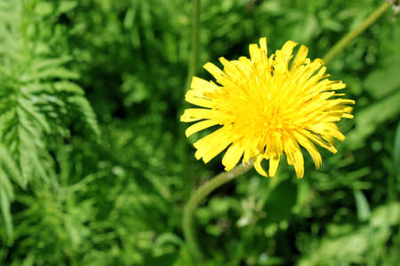 yellow dandelion on the background of green grass in the Sunny summer day Stock Photo - 14236379