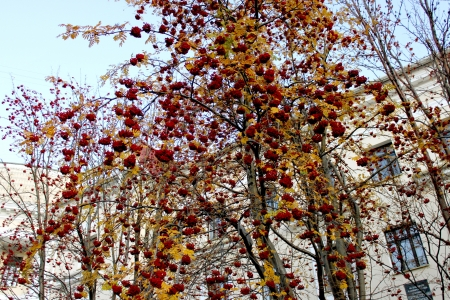 large clusters of mountain ash hang on the branches of trees