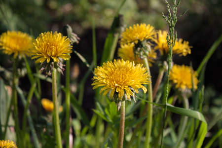 yellow flowers dandelions highlights of the summer sun Stock Photo