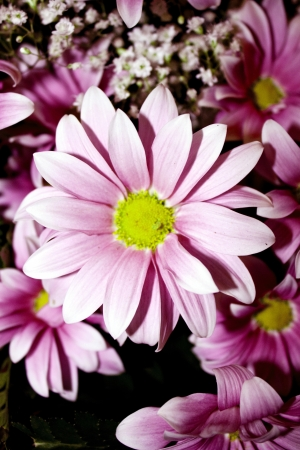 festive bouquet of pink chrysanthemums Stock Photo