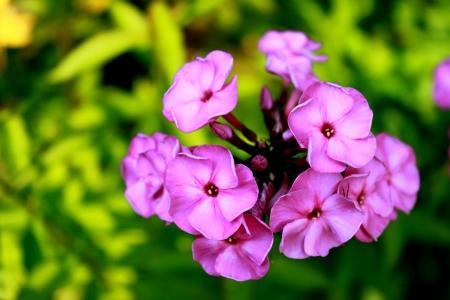 flower Phlox against the green grass