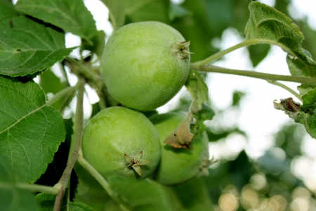 growing green apples on a tree branch