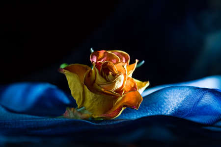 Yellow dry single rose on dark-blue background with backlight