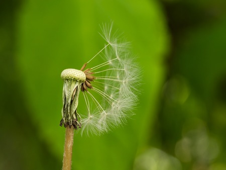 One dandelion with white seeds parachutes on green background
