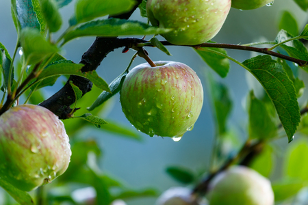 Apples after rain on a tree