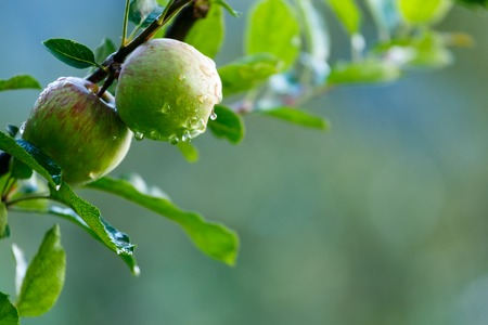 Apples on a tree after rain