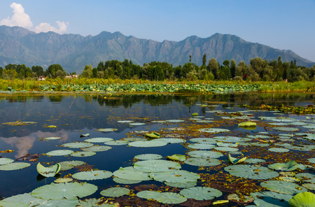 Dal lake in Kashmir with lotus leaves and mountains Фото со стока