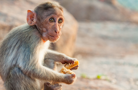 Small monkey with big eyes eating bread Фото со стока
